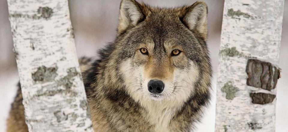 """""""Голодный как волк"""""""